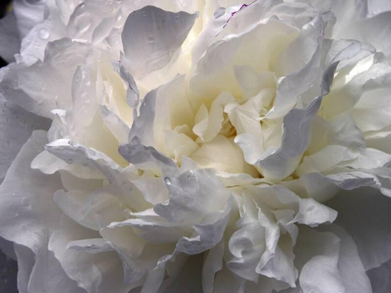 Pin white peony flower on pinterest